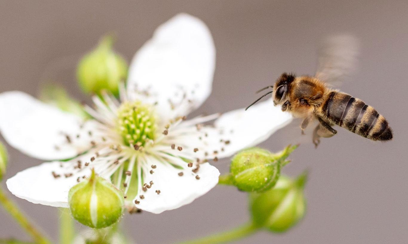 Bee-flower-1366-0818