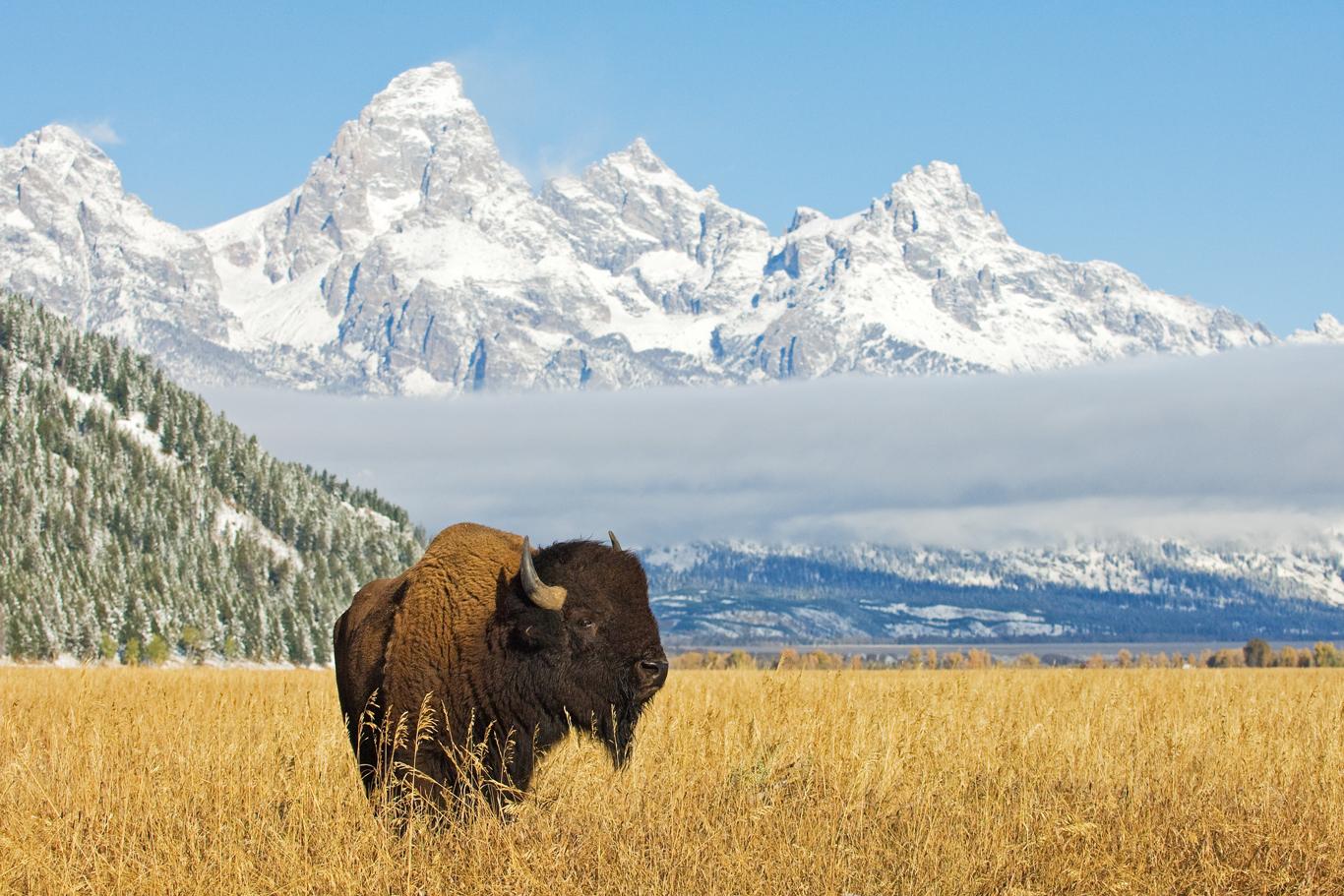 Bison-Wildlife-1366-0920
