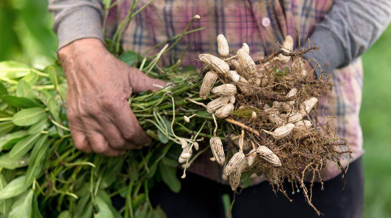 Peanut-Harvesting-1366-031