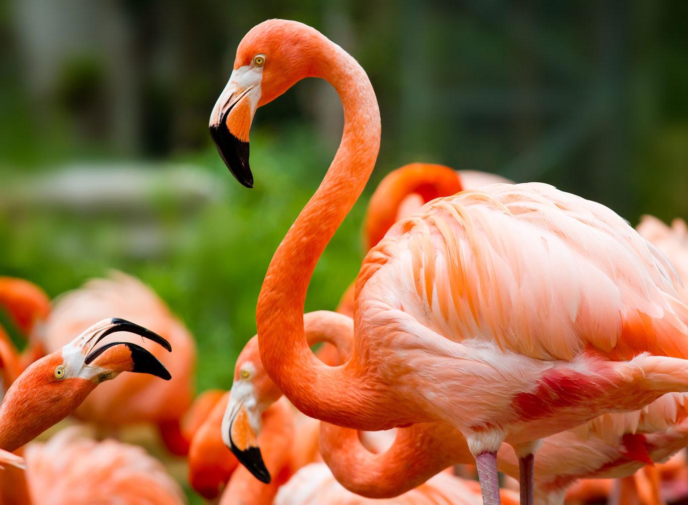 Pink-flamingo-real-1366-0618